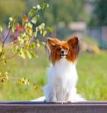 在秋季背景的一条小白红色狗 Papillon坐一个长木凳 库存图片