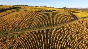 在秋季葡萄园的鸟瞰图 股票视频