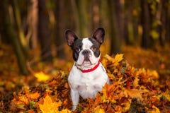 在秋季风景的狗 免版税库存照片
