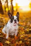 在秋季风景的狗 库存照片