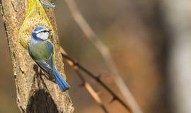 在种子吃的蓝冠山雀 库存图片