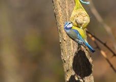 在种子吃的蓝冠山雀 免版税库存图片