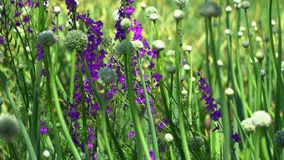 在种子是可看见的弓中间的紫色花 股票视频