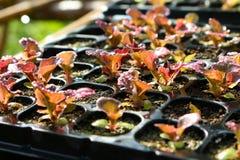 在种子盘子的红色莴苣 免版税库存图片