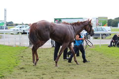 在种族以后的赛马,约克种族, 2015年8月 图库摄影