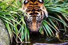 在种植和灌木之间的老虎饮料 库存图片