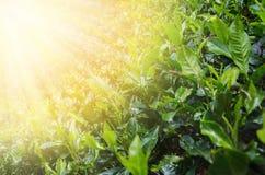 在种植园留下茶 库存图片