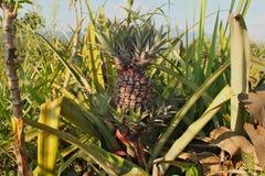 在种植园的一个大成熟菠萝 免版税图库摄影