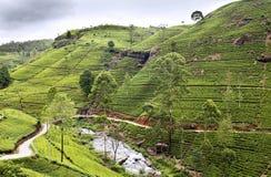 在种植园的茶结构树 免版税库存照片