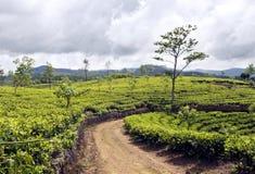 在种植园的茶结构树 库存照片