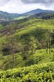 在种植园的茶结构树 免版税库存图片