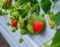 在种植园的草莓 库存图片
