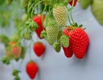 在种植园的草莓 库存照片