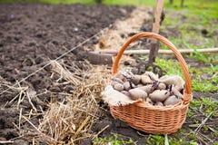 在种植的准备的发芽土豆在篮子前 库存图片