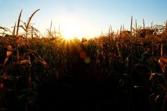 在种田为谷类食物的田地庄稼的玉米 免版税库存照片