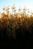 在种田为谷类食物的田地庄稼的玉米 免版税图库摄影