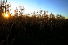 在种田为谷类食物的田地庄稼的玉米 库存照片