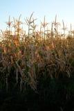 在种田为谷类食物的田地庄稼的玉米 库存图片