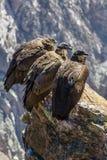在科尔卡峡谷开会的三只神鹰,秘鲁,南美。这是神鹰地球上的最大的飞鸟 图库摄影