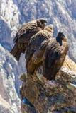 在科尔卡峡谷开会的三只神鹰,秘鲁,南美。这是神鹰最大的飞鸟 图库摄影
