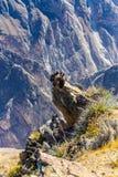 在科尔卡峡谷开会的三只神鹰,秘鲁,南美。这是神鹰最大的飞鸟 免版税库存图片
