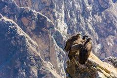 在科尔卡峡谷开会的三只神鹰,秘鲁,南美。这是神鹰最大的飞鸟 免版税库存照片