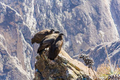 在科尔卡峡谷开会的三只神鹰,秘鲁,南美。这是神鹰最大的飞鸟 免版税图库摄影