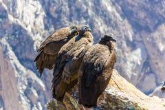 在科尔卡峡谷开会的三只神鹰,秘鲁,南美。 免版税库存图片