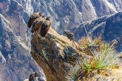 在科尔卡峡谷开会的三只神鹰,秘鲁,南美。 库存图片