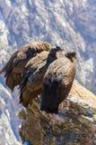 在科尔卡峡谷开会的三只神鹰,秘鲁,南美。 库存照片