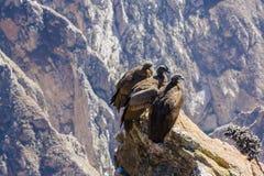 在科尔卡峡谷开会的三只神鹰,秘鲁,南美 这是神鹰地球上的最大的飞鸟 免版税库存图片