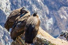 在科尔卡峡谷开会的三只神鹰,秘鲁,南美 这是神鹰地球上的最大的飞鸟 免版税图库摄影