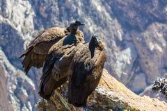 在科尔卡峡谷开会的三只神鹰,秘鲁,南美 这是神鹰地球上的最大的飞鸟 库存图片