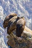 在科尔卡峡谷开会的三只神鹰,秘鲁,南美 这是神鹰地球上的最大的飞鸟 图库摄影
