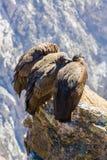 在科尔卡峡谷开会的三只神鹰,秘鲁,南美 这是神鹰地球上的最大的飞鸟 库存照片