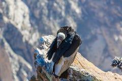 在科尔卡峡谷开会的神鹰,秘鲁,南美。 免版税库存图片