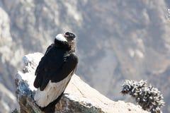 在科尔卡峡谷开会的神鹰,秘鲁,南美 这是神鹰最大的飞鸟 图库摄影