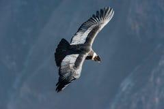 在科尔卡峡谷阿雷基帕秘鲁的安第斯秃鹰飞行 免版税库存图片