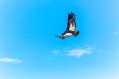 在科尔卡峡谷,秘鲁,南美的飞行神鹰。这只神鹰最大的飞鸟 免版税图库摄影