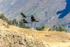 在科尔卡峡谷,秘鲁,南美的飞行神鹰。这只神鹰最大的飞鸟 免版税库存照片