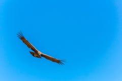 在科尔卡峡谷,秘鲁,南美的飞行神鹰。这只神鹰最大的飞鸟 图库摄影