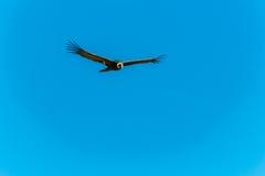 在科尔卡峡谷,秘鲁,南美的飞行神鹰。这只神鹰最大的飞鸟 库存照片