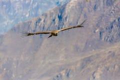 在科尔卡峡谷,秘鲁,南美的飞行神鹰。这只神鹰最大的飞鸟 免版税库存图片