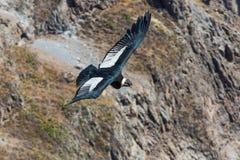 在科尔卡峡谷,秘鲁,南美的飞行神鹰。这是神鹰地球上的最大的飞鸟 库存照片