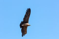 在科尔卡峡谷,秘鲁,南美的飞行神鹰这是神鹰最大的飞鸟 库存照片