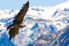 在科尔卡峡谷,秘鲁,南美的飞行神鹰 免版税库存图片