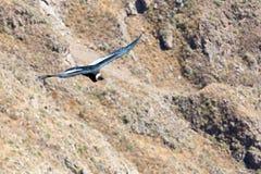 在科尔卡峡谷,秘鲁,南美的飞行神鹰 库存图片