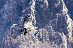 在科尔卡峡谷,秘鲁,南美的飞行神鹰 库存照片