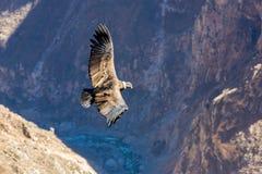 在科尔卡峡谷,秘鲁,南美的飞行神鹰 图库摄影