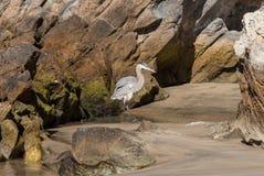 在科罗娜del Mar海滩的蓝色苍鹭 库存图片
